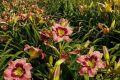 В Ботаническом саду Симферополя зацвели лилейники