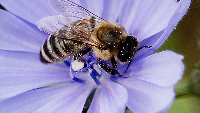 Чем полезна пчелиная пыльца для человека