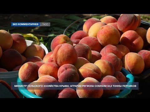 В Крыму продолжается сбор урожая персиков
