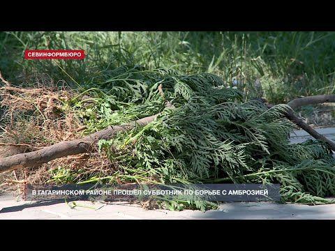 Севастопольцы вышли на борьбу с амброзией в Гагаринском районе города