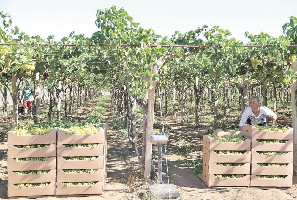Выдержка не помешает: как развивается виноградарство в Крыму