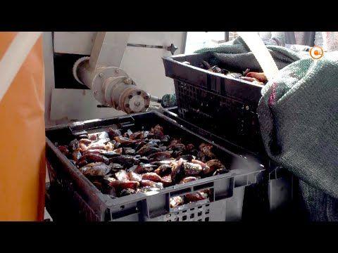 Как развивается отрасль марикультуры в Севастополе? (СЮЖЕТ)
