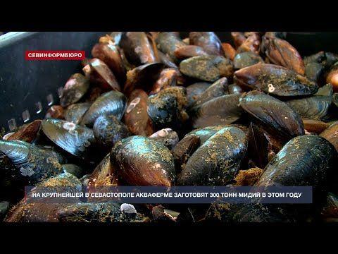 В Севастополе на акваферме началась заготовка мидии в промышленном масштабе