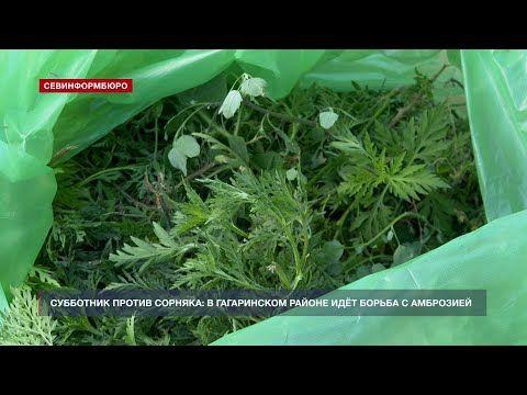 Депутаты Гагаринского района на субботнике вручную избавлялись от амброзии