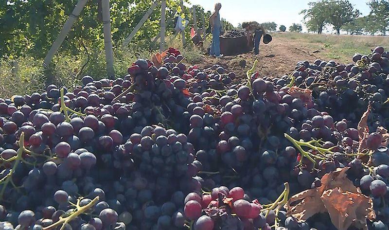 Севастопольским виноградарям выделены субсидии на развитие предприятий