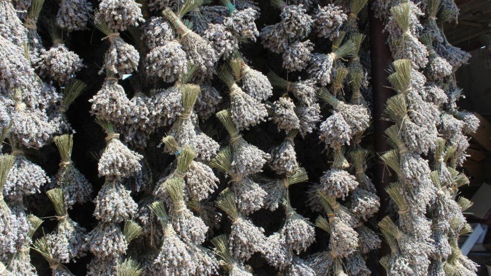 Крымские аграрии собрали более 200 тонн лаванды и порядка 170 тонн шалфея - Андрей Рюмшин