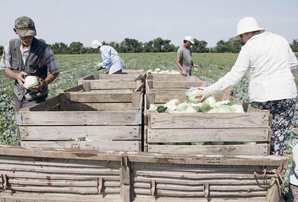 В Крыму дешевеют овощи из «борщевого набора»