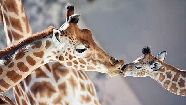 Зачем жирафам нужны бабушки - откровения британских ученых