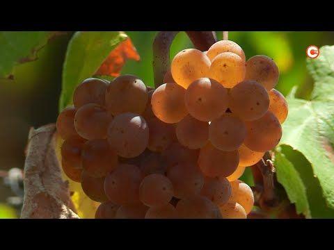 «Винный гид России» оценил севастопольское виноделие (СЮЖЕТ)