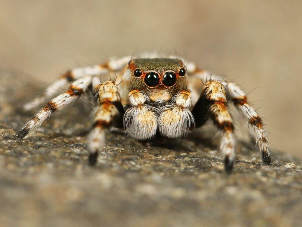 В Крыму растет популяция ядовитых пауков