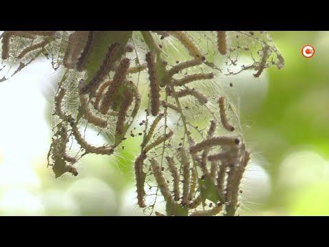 В Севастополе противостоят нашествию насекомых (СЮЖЕТ)