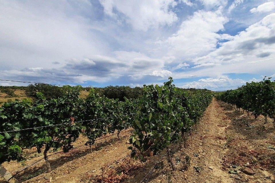 Солнце на розлив: В Крыму собирают урожай винограда для будущих игристого и тихого