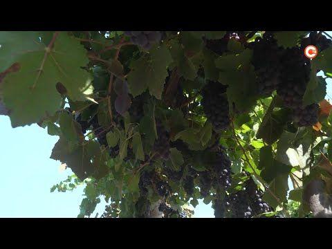 Свыше 20 тысяч тонн винограда планируют собрать в Севастополе в 2021 году (СЮЖЕТ)