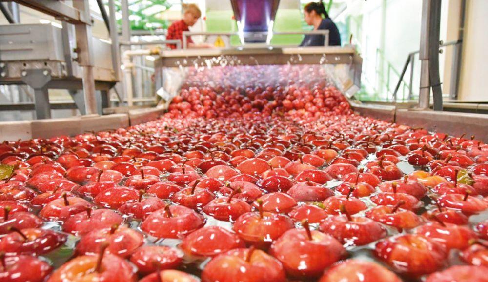 В Крыму созрел богатый урожай яблок