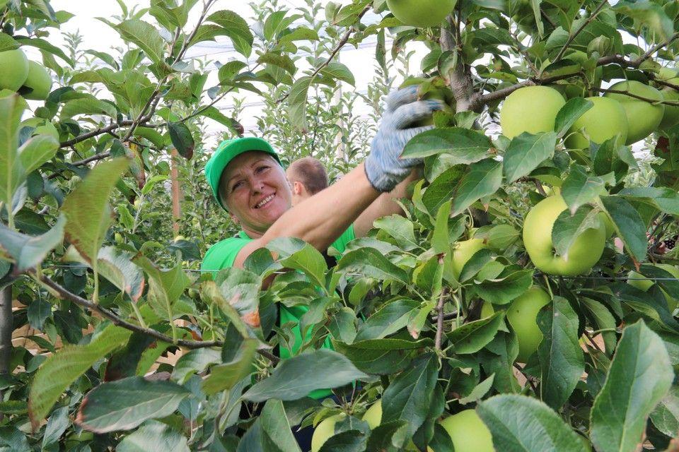 Яблочко в вуали: В Крыму итальянские технологии за пару лет поднимают сад на пустыре