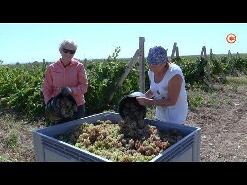 Севастопольцам, оставшимся без работы, предложили заняться уборкой винограда (СЮЖЕТ)