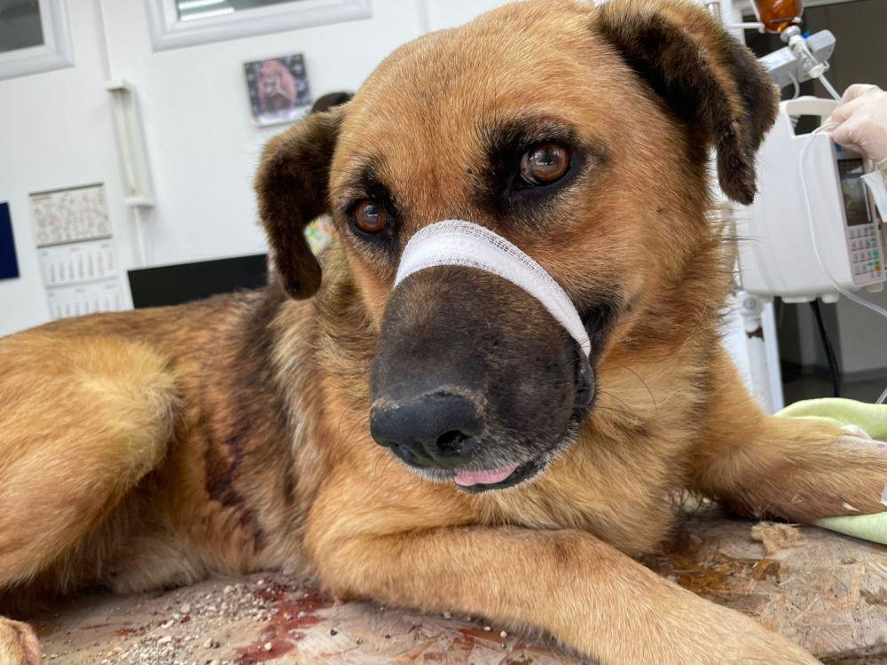 Собаке Барону, которого пытались разрезать пополам, нашли дом
