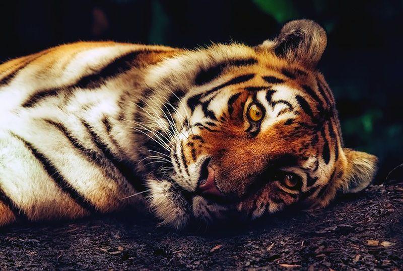 В «Тайгане» тигр откусил палец годовалому ребенку