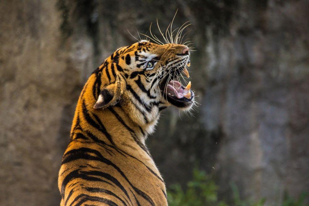 В крымском сафари-парке «Тайган» тигр откусил палец годовалому малышу