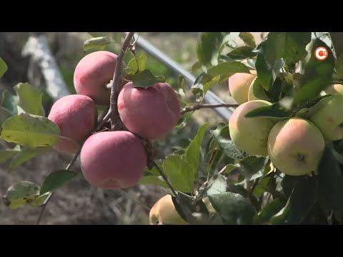 Севастопольские фермеры собирают яблочный урожай (СЮЖЕТ)