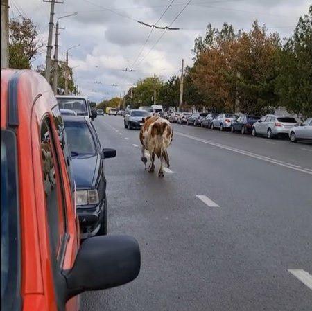 В центре Симферополя гуляет корова