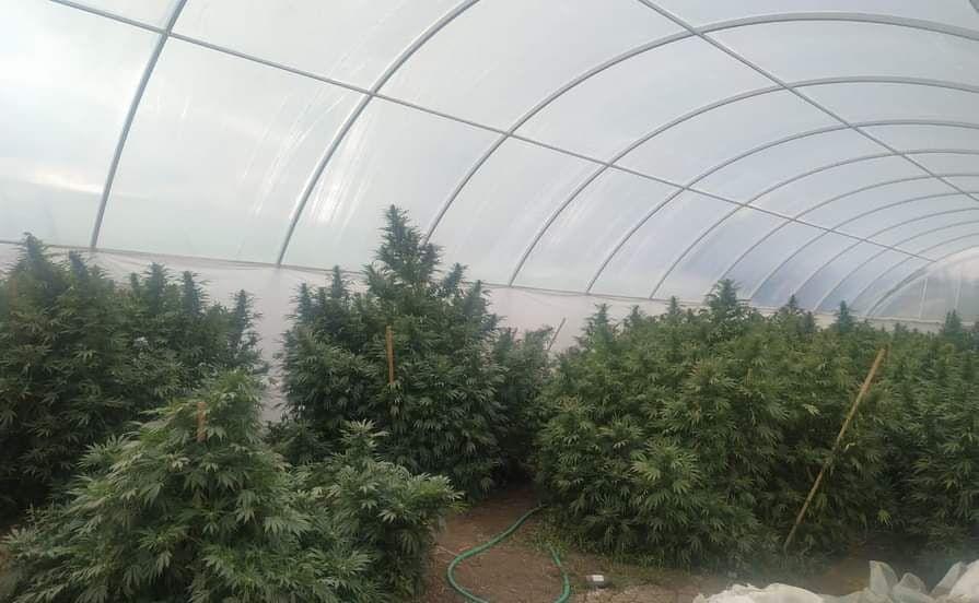 В Кировском районе нашли плантацию конопли