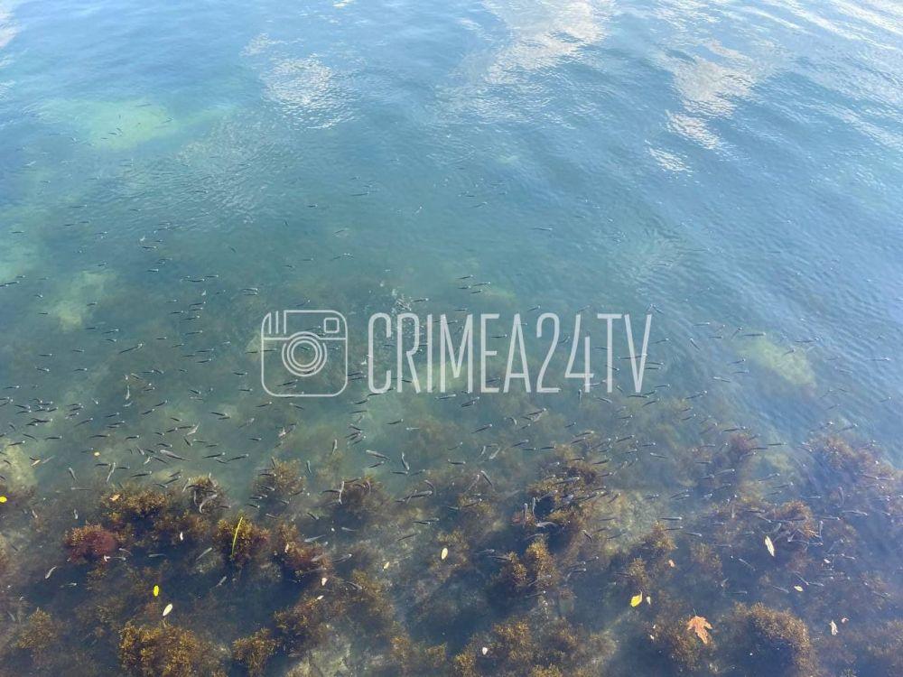 На набережной Керчи заметили косяк молоди пиленгаса. Эксперты просят не ловить эту рыбу