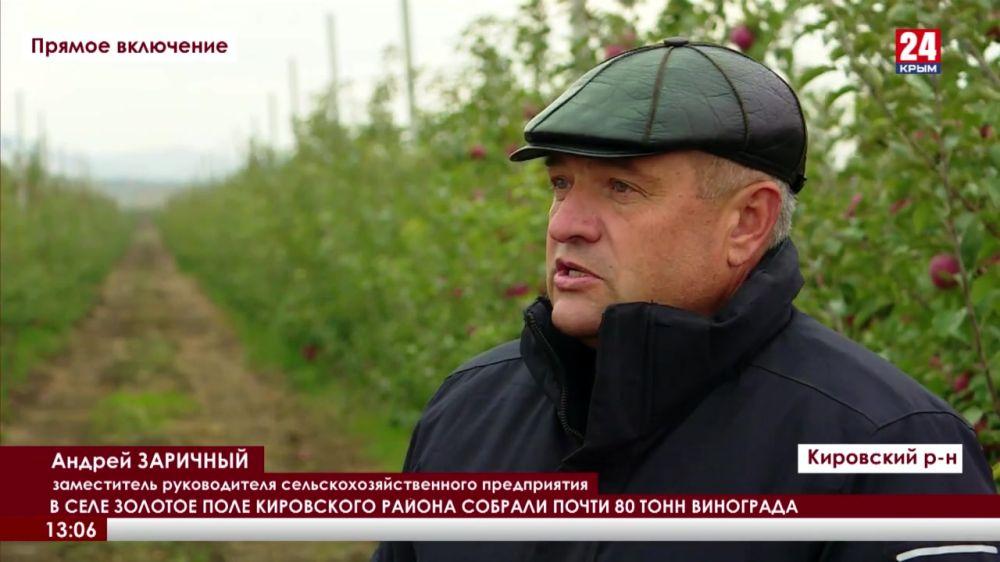 В селе Золотое Поле Кировского района собрали почти 80 тонн винограда
