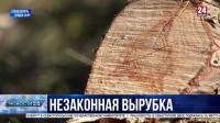 Под Севастополем неизвестные вырубили сотни деревьев краснокнижного можжевельника