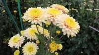 В Крыму соорудили цветочную эстакаду для Бала хризантем 2021