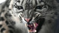 Как играют котята снежного барса - ученые показали видео с фотоловушек