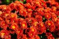 В Ботаническом саду КФУ зацвели хризантемы