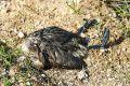 Среди погибших в Крыму пернатых обнаружили окольцованных птиц из разных стран