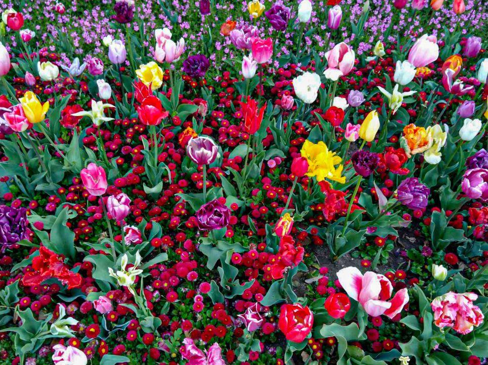 В подарок врачам: в ботсаду в Крыму срезают выставку Парад тюльпанов