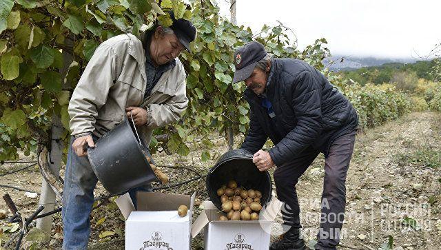 Сбор урожая киви на плантациях в Кореизе