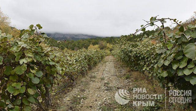 Плантации киви в поселке Кореиз