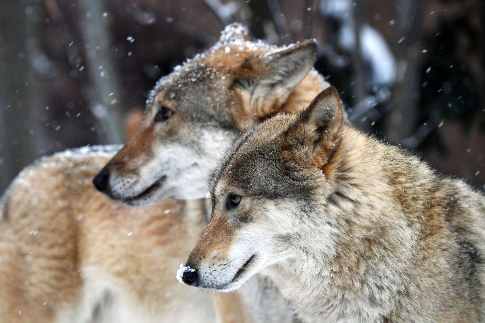 Волчья напасть: как в Крыму воюют с хитрым Серым